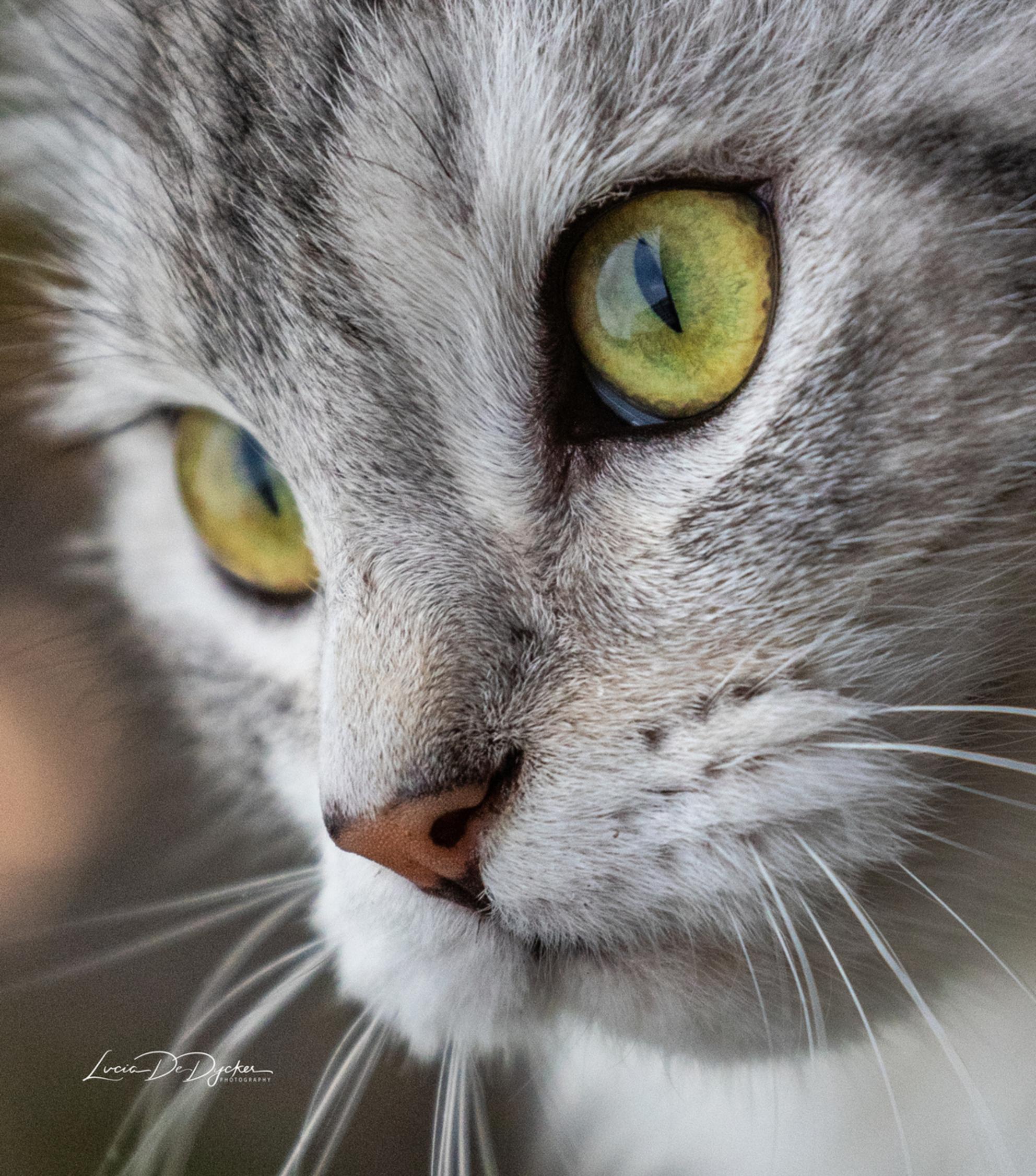De mooie Shiba - - - foto door luciadedycker op 28-02-2021 - deze foto bevat: kitten, dieren, huisdier, kat, jong - Deze foto mag gebruikt worden in een Zoom.nl publicatie