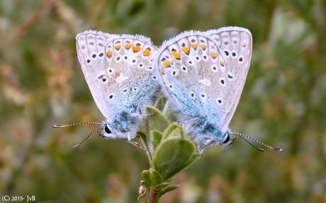 Blauwtjes (2)