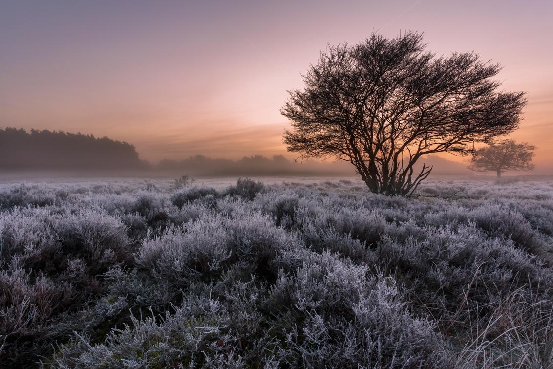 Rijp op de hei 2 - Begin december, de eerste rijp van het seizoen. Ik heb m'n ogen uitgekeken op de hei bij Crailo vlakbij Blaricum. Deze heb ik genomen voordat de zon  - foto door RemcoNV op 05-12-2013 - deze foto bevat: rijp, ijs, hei, kou, blaricum, crailo, zonsopkomst. landschap