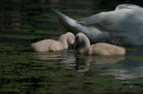 Small Swans II