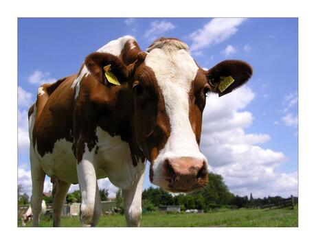 Roodbont koe