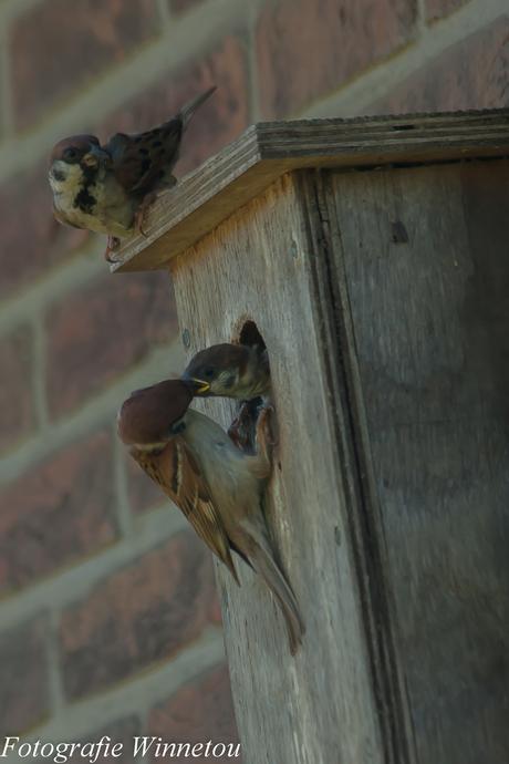 Stadsmussen in een nestkastje 2