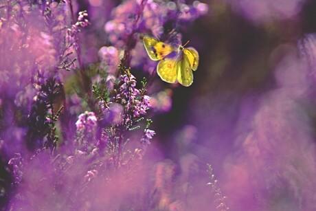 Luzerne vlinder in de vlucht