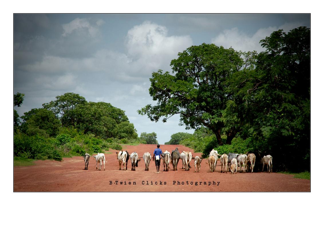 Lining up ... - Perfect moment on a beautiful spot.  Shepherd boy (and his dog) walking his cows home... - foto door ancoewien op 16-05-2012 - deze foto bevat: nature, cows, mali, shepherd