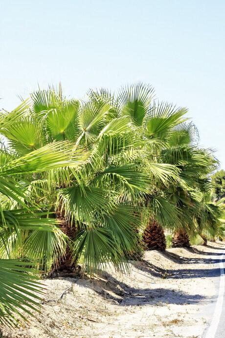 Palmen langs de weg