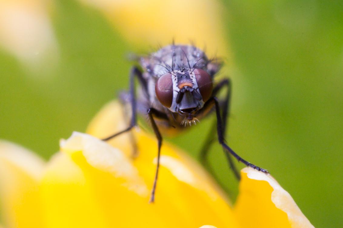 Vlieg op bloem (2:1 macro-objectief) - LAOWA 60mm f/2.8 Ultra-Macro Lens getest. [urlx=http://www.venuslens.nl]website van venuslens[/urlx] - foto door hanskl op 18-04-2017 - deze foto bevat: macro, vlieg