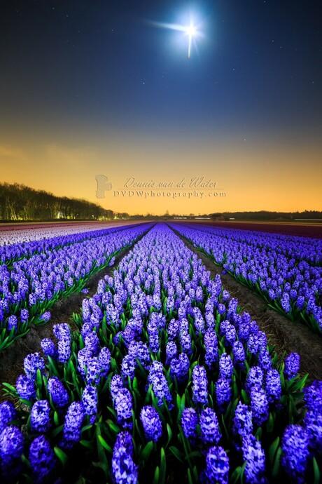 Dark Hyacinths