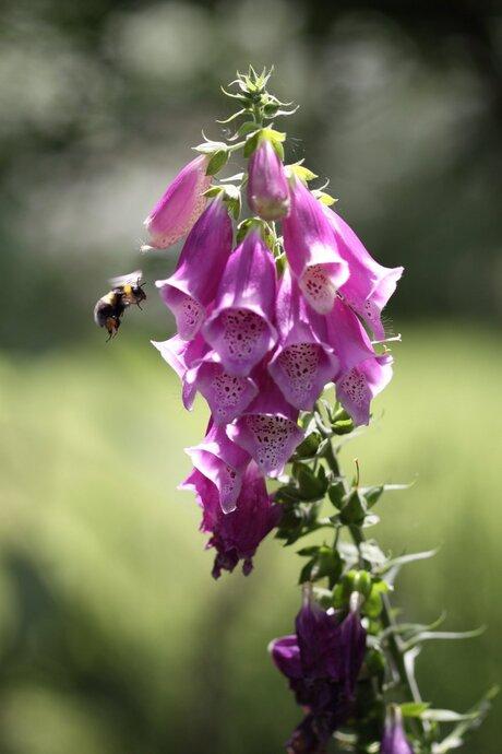 Bee Approaching