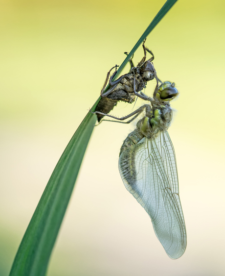 The birth of a four-spotted chaser