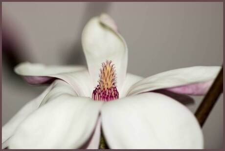 Magnolia3.jpg