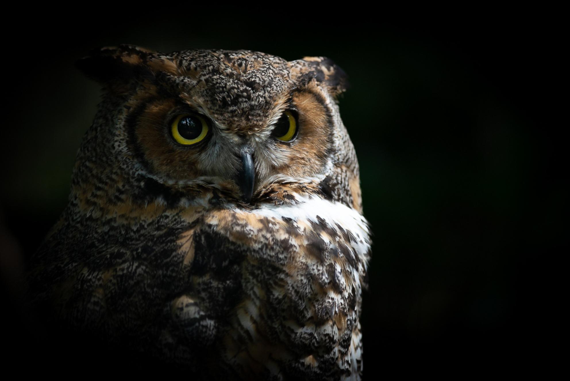 Indrukwekkend portret - Met de zon tussen de bomen door komt deze uil prachtig uit de foto springen... - foto door RBvandaag op 23-06-2018 - deze foto bevat: uil, dierentuin, dieren, vogel - Deze foto mag gebruikt worden in een Zoom.nl publicatie