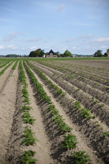 Aardappelveld in Boer (Friesland)