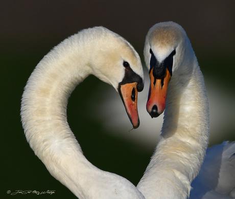 Zwanen liefde