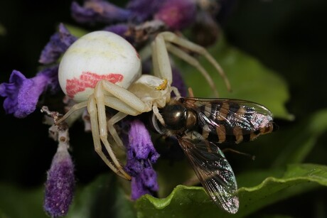 De krabspin heeft als prooi een zweefvlieg weten te bemachtigen.