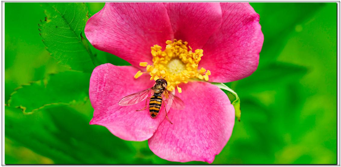 Zweefvlieg.. - op 'Rosa Canina'... - foto door Terpstra.A op 21-06-2015 - deze foto bevat: roze, groen, macro, bloem, lente, natuur, roos, zweefvlieg, geel, insect