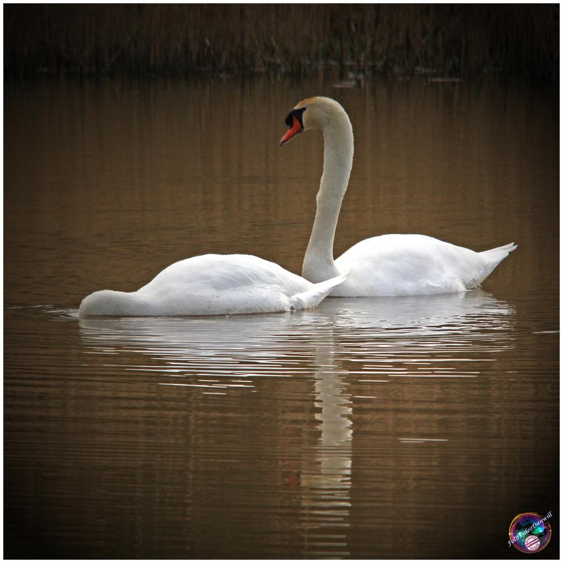 Altijd samen - - - foto door willemdanker op 07-11-2018 - deze foto bevat: zwaan, zwanen