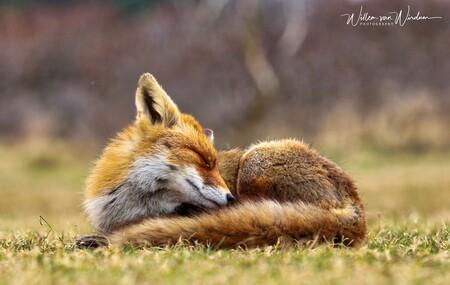 Tukkie tijd - - - foto door Willemvwirdum op 27-11-2018 - deze foto bevat: natuur, dieren, vos, wildlife