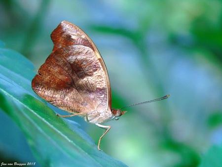 Catonephele numilia (vrouwtje) - Soms komt het bij vlindersoorten voor dat het mannetje niet op het vrouwtje lijkt. De Catonephele numilia is daar een voorbeeld van. Het mannetje hee - foto door Redfox16 op 26-04-2018 - deze foto bevat: vlinder, vlindertuin, jvbfotografie.nl, vlindersadvliet, catonephele numilia.