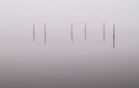 Meeuwen op fuikpalen in dichte mist