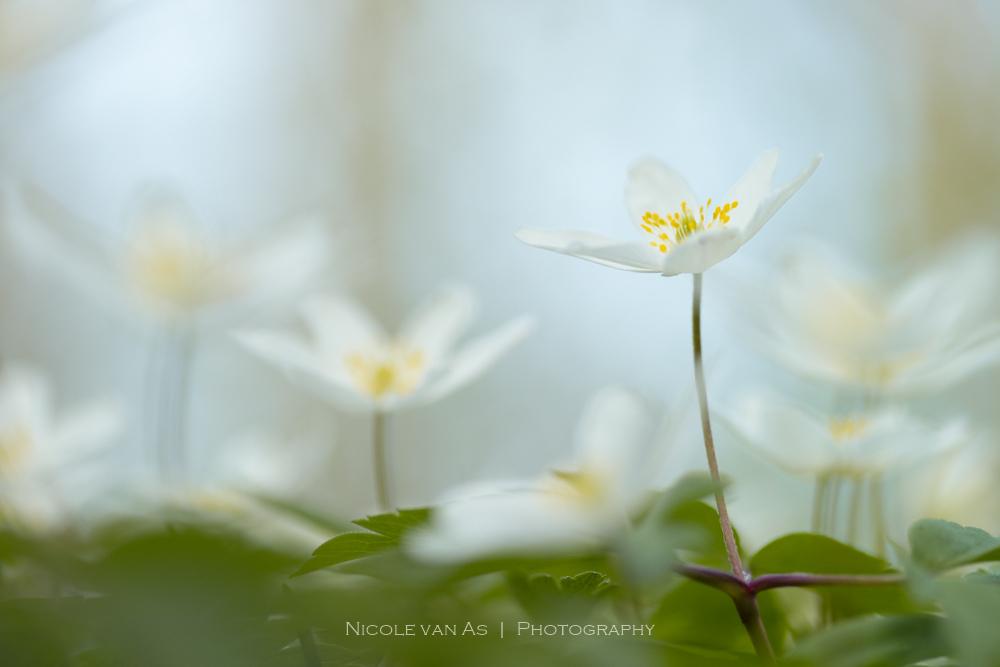 Bosanemoontjes. - Tedere bosanemoontjes in het bos van Texel. Met de Lensbaby composer Pro, double exposure optic en de macroring, krijg je prachtige sfeervolle foto' - foto door nicole-8 op 25-04-2018 - deze foto bevat: groen, macro, wit, zon, bloem, lente, natuur, geel, licht, tegenlicht, texel, nederland, lensbaby, natuurlijk, dof, speels, vervaagd, bokeh, vervagen, nivas, macroring, canon80d, composerpro, lensbaby macro