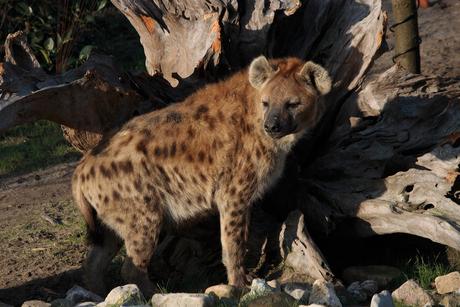 Blijdorp - Hyena