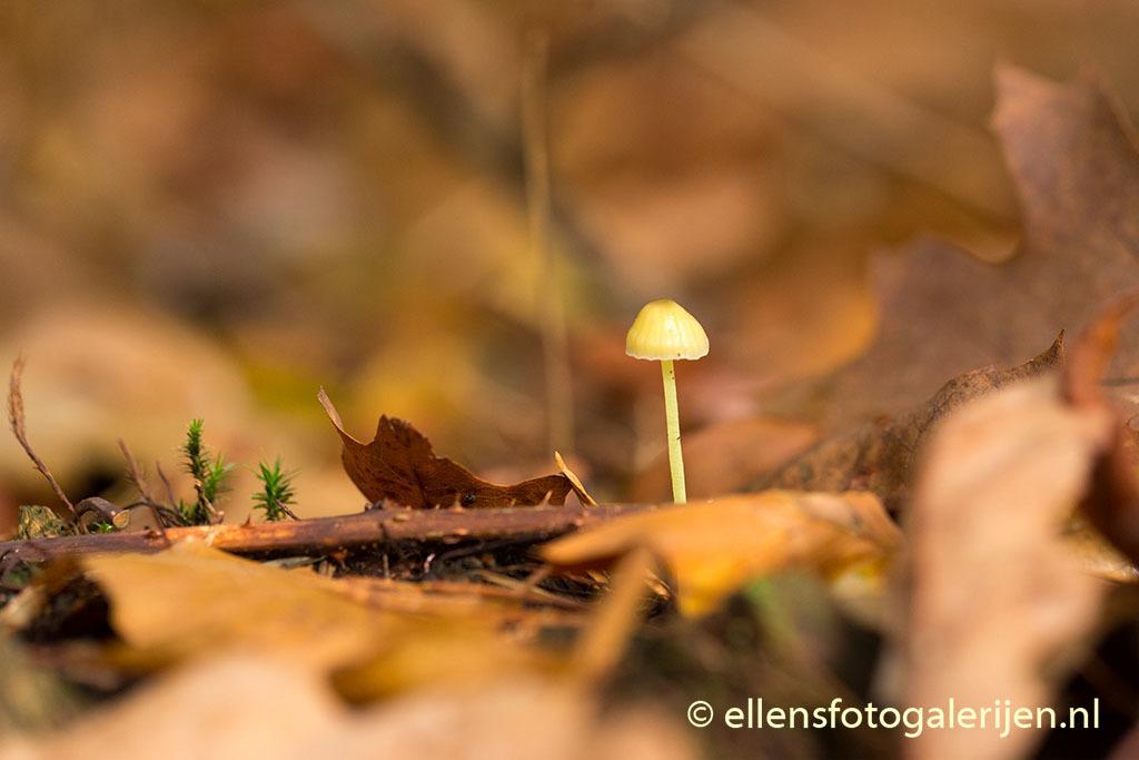Hello there - Geweldig de herfstkleuren en het minuscule leven dat tegen de verdrukking in weet haar koppie boven de grond te krijgen. - foto door ellen-zeist op 28-10-2015 - deze foto bevat: macro, natuur, bruin, geel, paddestoel, herfst, dof, bokeh