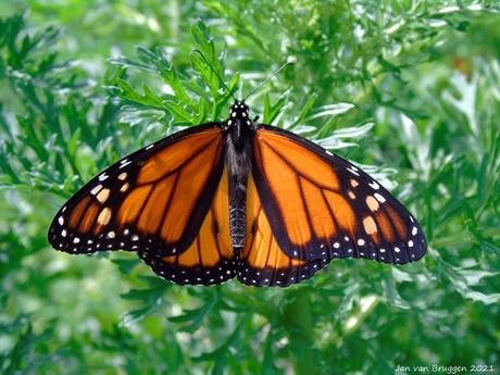 Danaus Plexippus ( Monarchvlinder )