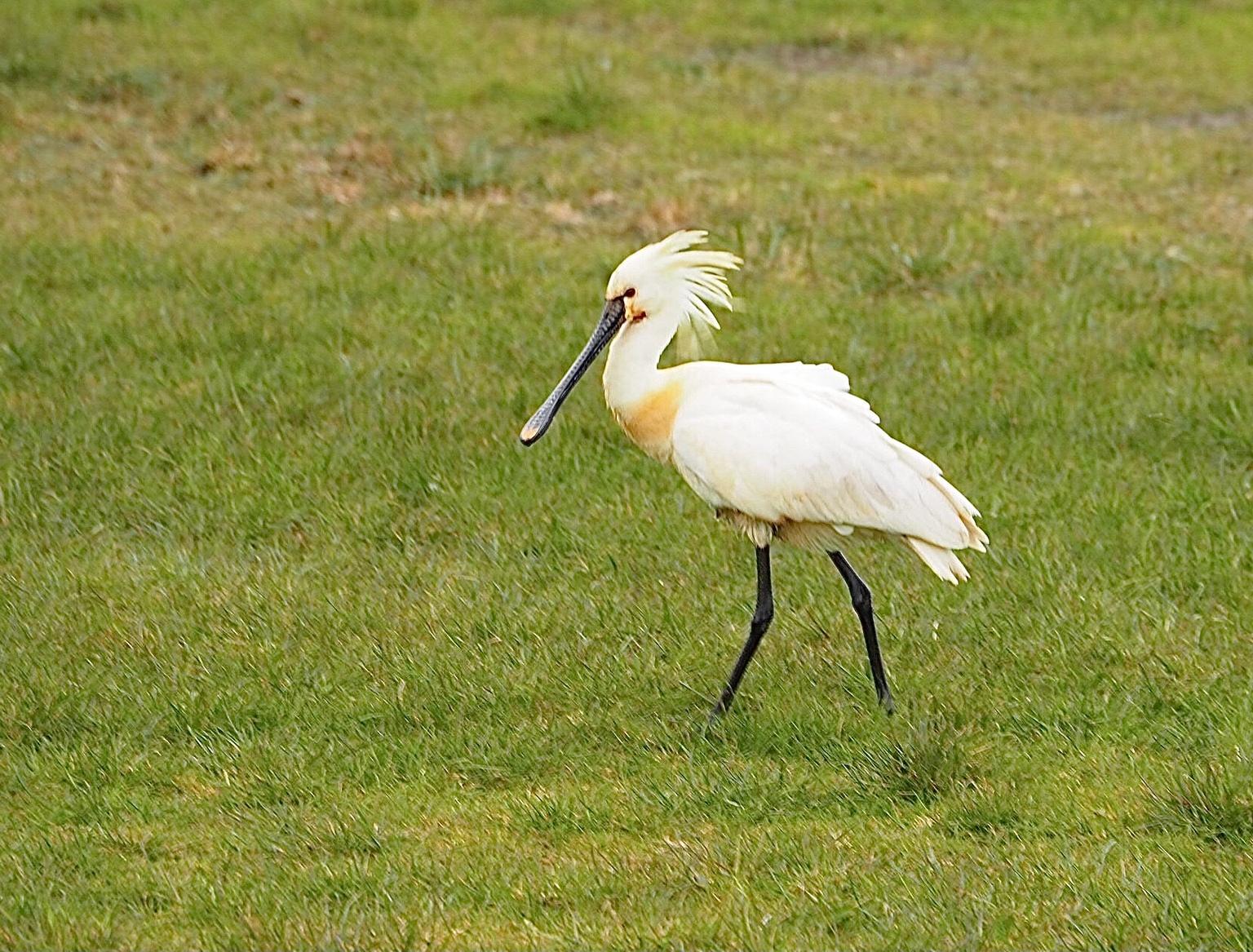 Lepelaar - Texel - foto door atzedejong-01 op 14-04-2021 - deze foto bevat: ecoregio, vogel, bek, natuurlijke omgeving, veer, natuurlijk landschap, grasland, gras, ciconiiformes, vleugel