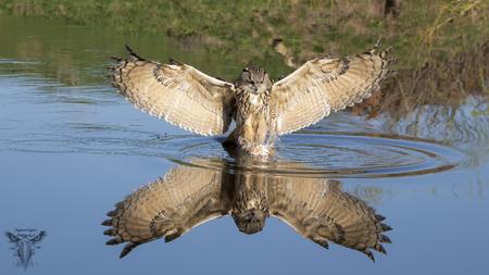 Oehoe - mooie spiegel van deze Oehoe - foto door Raymond50 op 14-04-2021 - locatie: 6741 Lunteren, Nederland - deze foto bevat: oehoe, bird in flight, spiegel, wildlife, birds, uil, vogel, bubo bubo, bek, veer, water, water, vogel, accipitridae, bek, organisme, vleugel, falconiformes, meer, roofvogel, accipitriformes