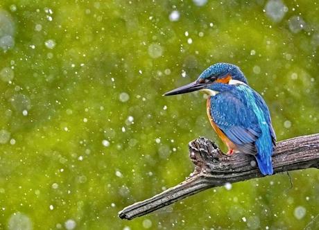 IJsvogel in hagelbui