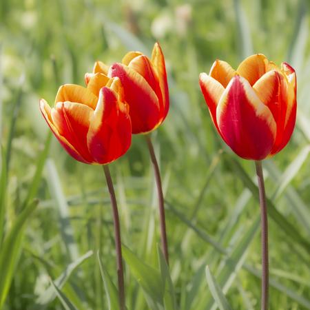 floraliën  - tulpen in het kasteelpark in groot bijgaarden - foto door BriMo-foto op 05-05-2021 - locatie: Isidoor van Beverenstraat 5, 1702 Dilbeek, België - deze foto bevat: tulp, bloem, lente, tuin, park, floraliën, bloem, fabriek, bloemblaadje, natuurlijk landschap, gras, weide, bloeiende plant, landschap, eenjarige plant, bodembedekker
