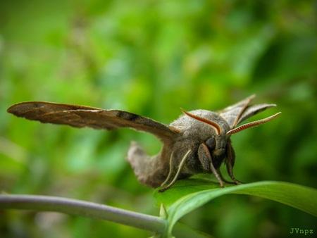 Hier ben ik dan - De Populierenpijlstaart is een nachtvlinder met een spanwijdte van 70 tot 90 millimeter.  - foto door Vissernpz op 07-04-2021 - locatie: 9988 TE Noordpolderzijl, Nederland - deze foto bevat: vlinder, nachtvlinder, groot, natuur, bruin, groen, bestuiver, insect, geleedpotigen, fabriek, vlinder, terrestrische plant, motten en vlinders, plaag, natuurlijk landschap, hout