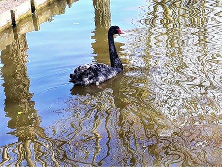 20210411  125839  Dieren  Kunst en Natuur in een met de Mobile genomen op 11 april 2021  - Hallo Zoomers , GROOT kijken . Zo 11 april  KOUD maar wel een zonnetje dus een ommetje door de Wijk Opstal gemaakt . Deze compo is  de ENE  zwarte zw - foto door jmdries op 13-04-2021 - locatie: Naaldwijk Wijk Opstal   - deze foto bevat: zwarte zwaan, water, zwarte zwaan, vogel, gewervelde, bek, meer, watervogels, eenden, ganzen en zwanen, veer, waterloop