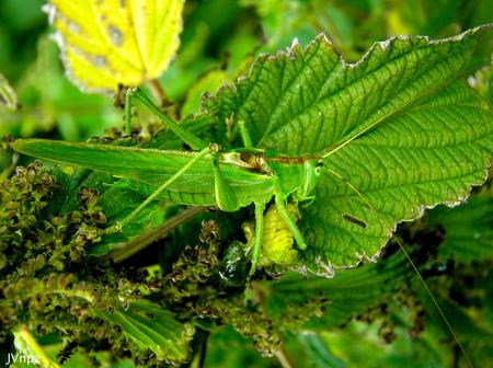 Grote Groene Sabelsprinkhaan - De Grote Groene Sabelsprinkhaan met zijn prooi. - foto door Vissernpz op 16-04-2021 - locatie: 9988 TE Noordpolderzijl, Nederland - deze foto bevat: sprinkhanen, grote, sabelsprinkhaan, natuur, prooi, fabriek, blad, bloem, terrestrische plant, geleedpotigen, insect, bloeiende plant, plaag, plant pathologie, eenjarige plant