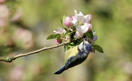 Pimpelmees - Een pimpelmees op zoek naar  insecten op de appelbloesem - foto door GerardvO op 28-04-2021 - locatie: 7622 GM Borne, Nederland - deze foto bevat: bloem, fabriek, takje, vogel, bek, bloemblaadje, bestuiver, insect, plaag, terrestrische plant