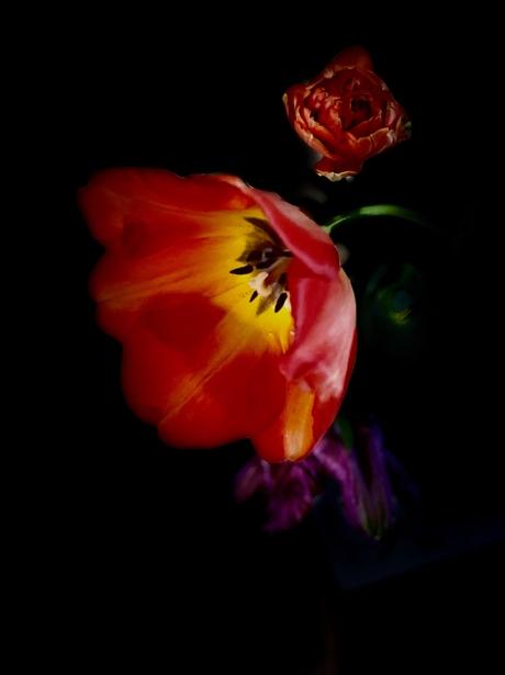 Hommage aan de tulp