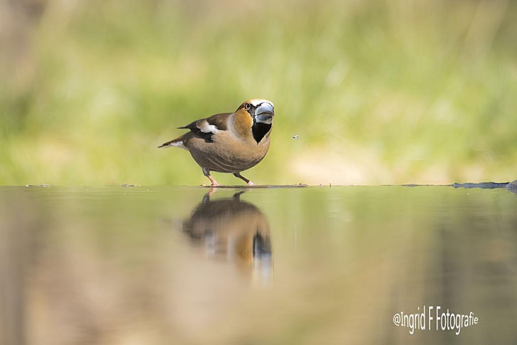 Dorst - Appelvink,bijzonder mooie vogel - foto door if.veld op 17-04-2021 - locatie: 7451 KP Espelo, Nederland - deze foto bevat: vogel, water, ecoregio, bek, hout, natuurlijk landschap, zangvogel, gras, meer, boom