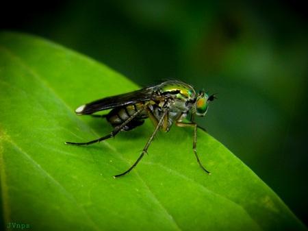 Het mannetje  - Het mannetje slankpootvlieg, deze is herkenbaar aan de witte vleugeltoppen. Op de voorgaande foto werd het vrouwtje slankpootvlieg getoond. - foto door Vissernpz op 11-04-2021 - locatie: 9988 TE Noordpolderzijl, Nederland - deze foto bevat: vlieg, insect, groen, lange poten, insect, geleedpotigen, oog, fabriek, organisme, huis vliegen, plaag, vleugel, bestuiver, terrestrische plant
