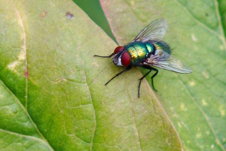 groene vlieg