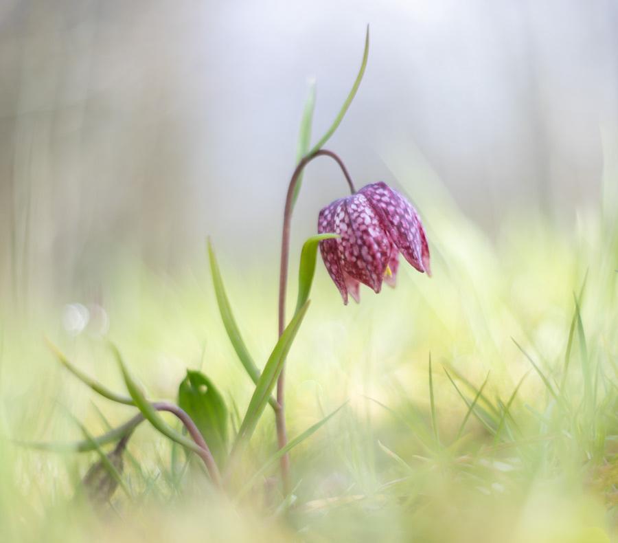 Zwolse tulp - De kievietsbloem oftewel Zwolse tulp. Aan 1 heb je soms genoeg. - foto door tineke1 op 15-04-2021 - deze foto bevat: snake's hoofd, bloem, fabriek, bloemblaadje, terrestrische plant, fritillaria, gras, pedicel, bloeiende plant, natuurlijk landschap