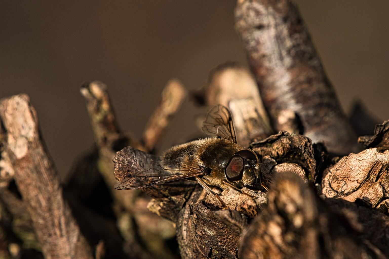 Camouflage - Dit beestje zat bovenop een boomstronk. Door zijn kleur viel hij bijna niet op.  De rode ogen verraadde zijn aanwezigheid. (Kan ook zijn dat ik de ro - foto door PaulvanVliet op 12-04-2021 - deze foto bevat: vlieg, bij, wesp, boomstronk, lente, rode ogen, vleugels, tuin, zoetermeer, fabriek, hout, geleedpotigen, takje, kofferbak, insect, plaag, ongewervelden, parasiet, natuurlijk materiaal