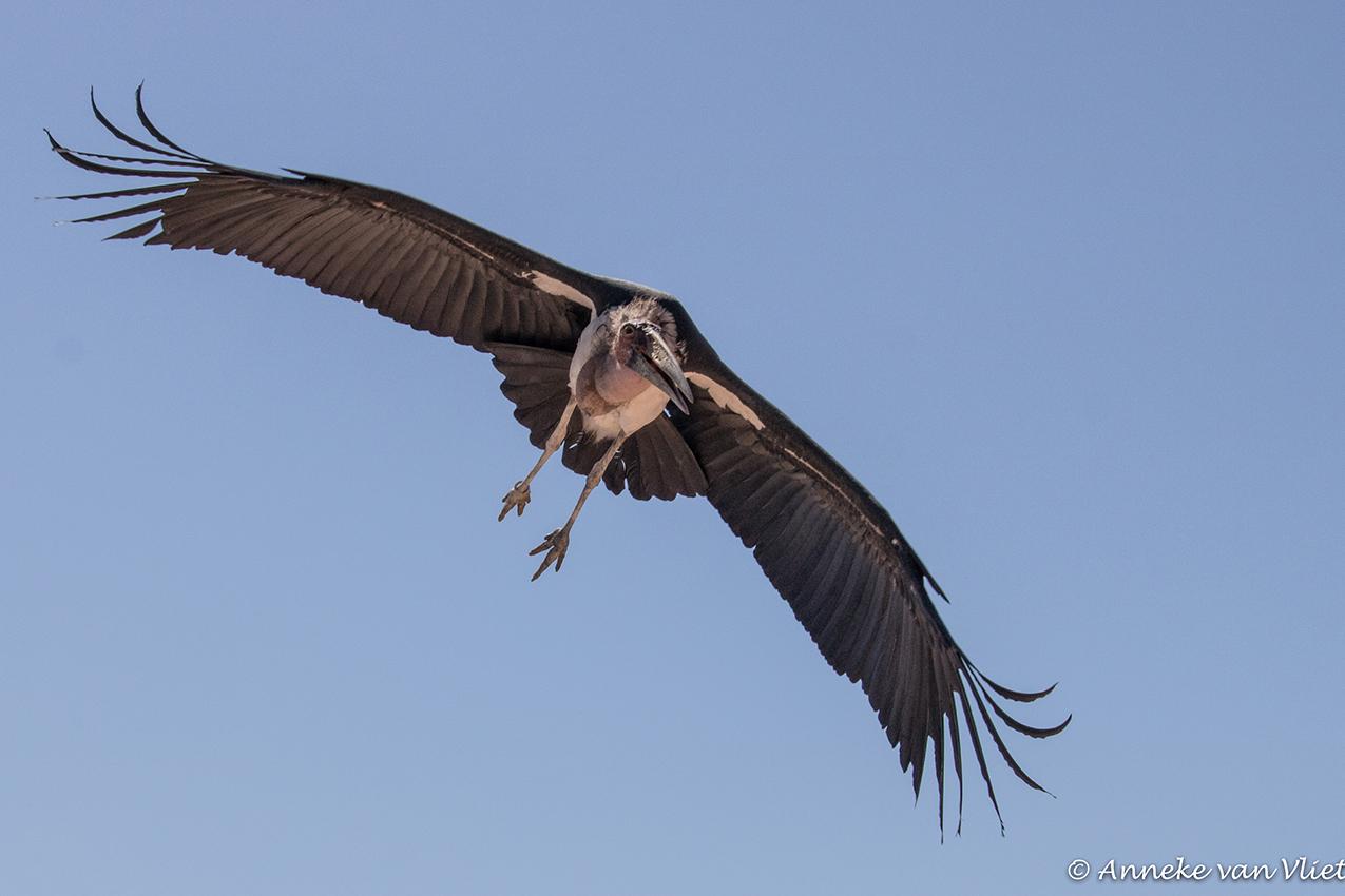 Afrikaanse Maraboe (Leptoptilos crumeniferus) - bij Terra natura in Murcia - foto door AnnekevanVliet op 10-04-2021 - deze foto bevat: lucht, vogel, bek, veer, accipitridae, vleugel, accipitriformes, staart, roofvogel, falconiformes