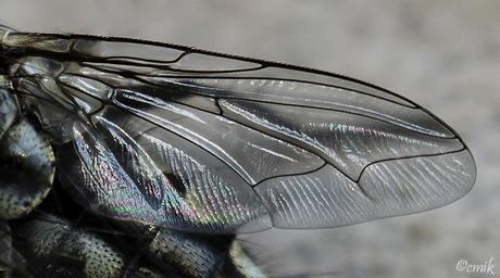 Grijze Vleesvlieg of Dambord: vleugel