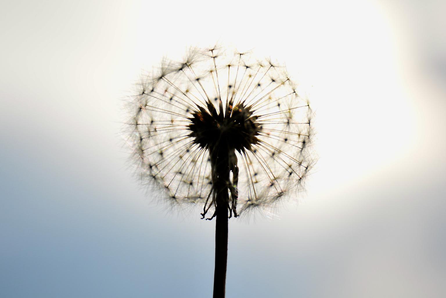 Paardebloem - Paardebloem tegenlichtopnamen  - foto door winnybiets op 04-05-2021 - deze foto bevat: bloem, lucht, fabriek, wolk, natuur, bloemblaadje, zonlicht, atmosferisch fenomeen, gras, bloeiende plant