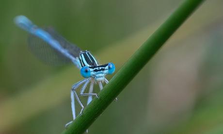 Blauwe Juffer