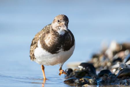 Steenlopertje IJmuiden - Dit steenlopertje kwam wel heel kort bij, genomen op het strand IJmuiden - foto door helga.teunissen op 28-02-2021 - deze foto bevat: strand, zee, natuur, winter, dieren, vogel, nederland