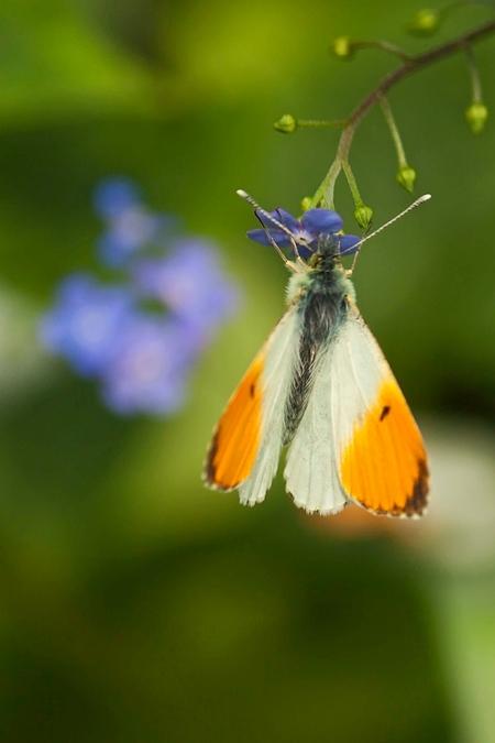 Rondje tuin (2) - Even op expeditie in onze eigen tuin en weer genoeg te zien. Van heel normaal, de kikker tussen het groen (zie vorige) naar heel bijzonder deze oranj - foto door harry-18 op 04-05-2012 - deze foto bevat: vlinder, tuin, oranje tip