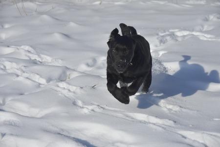 Labrador  - Sneeuw  - foto door RuudvandenElsen1961 op 15-04-2021 - locatie: Nuenen, Nederland - deze foto bevat: hond, sneeuw, carnivoor, bevriezing, hondenras, ijskap, werkend dier, winter, autoband, glaciale landvorm