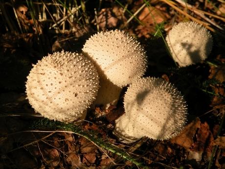 Parelstuifzwammen (Lycoperdon perlatum)