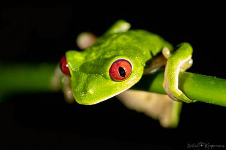 rufous-eyed brook frog